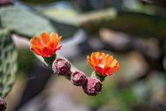 ::. Kaktusblüten .::