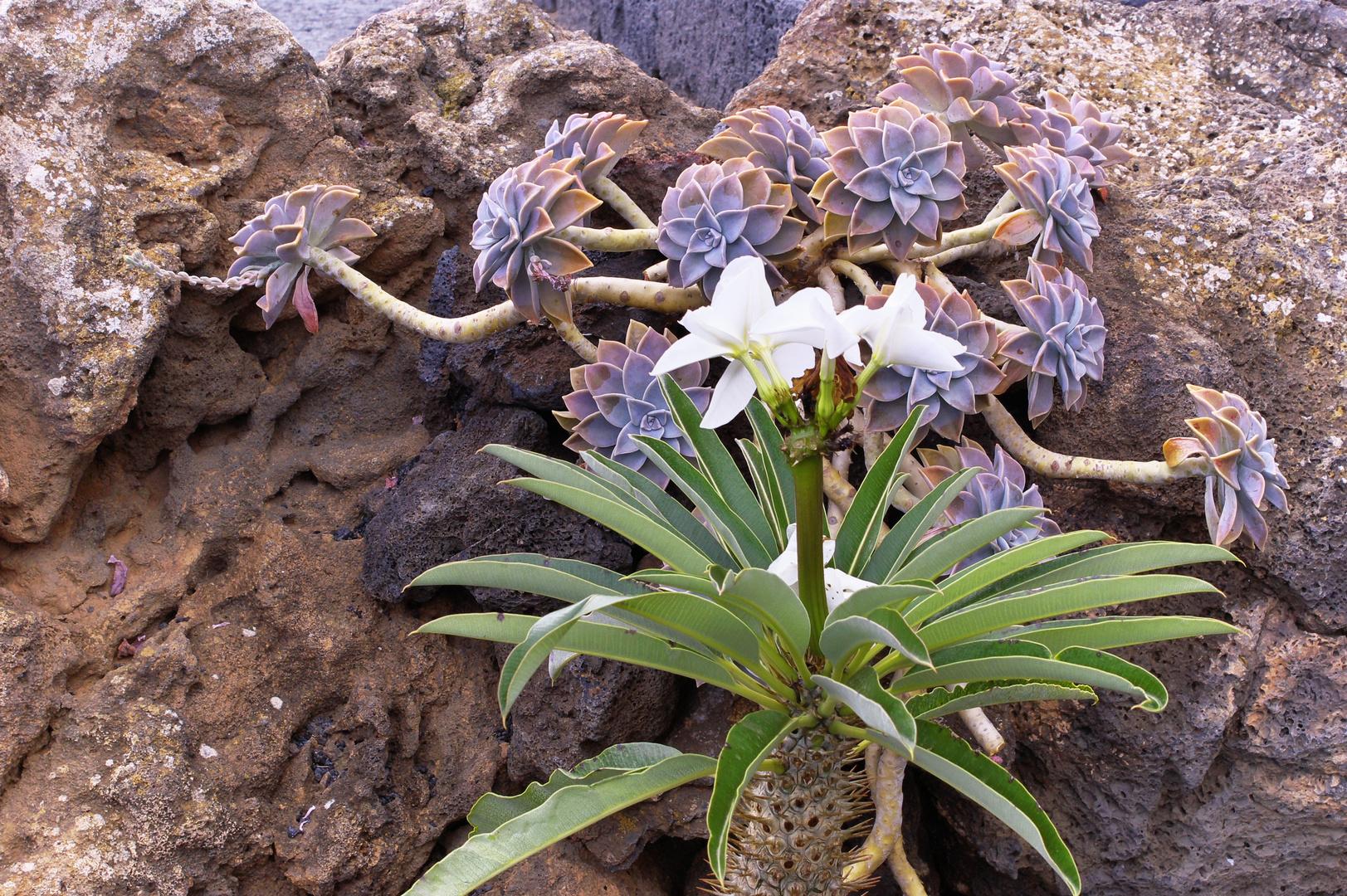 Kaktusblüten auf Lanzarotte-1