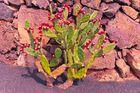 Kaktusblüten auf Lanzarotte-2