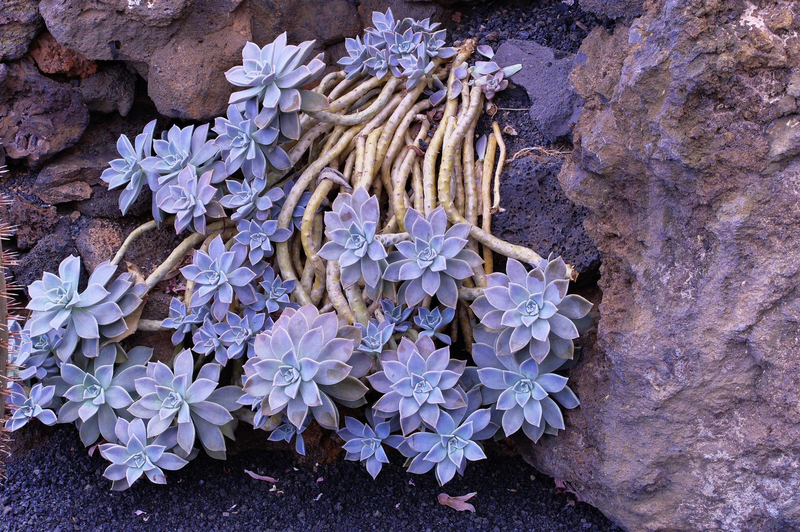 Kaktusblüten auf Lanzarotte-3