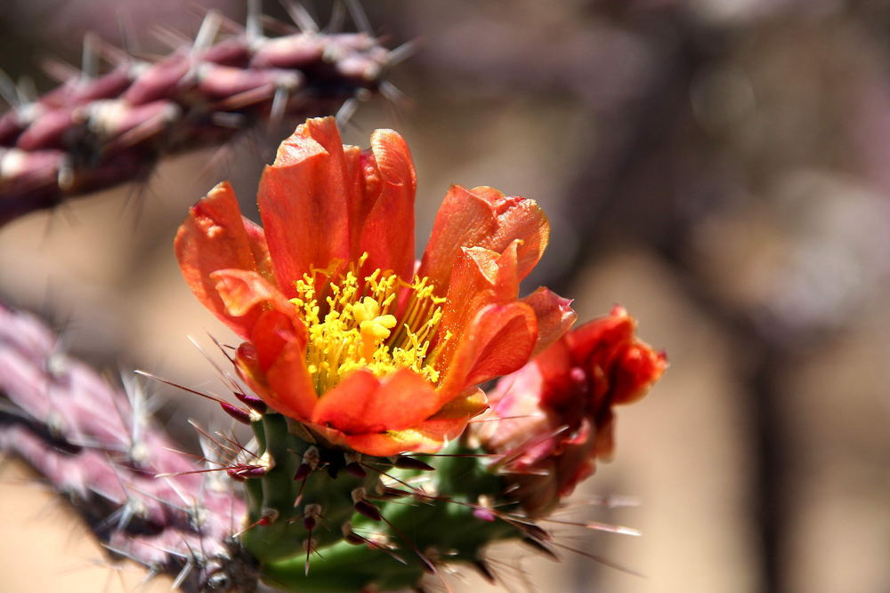 Kaktusblume