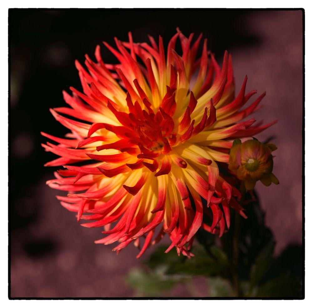 Kaktusdahlie - Lisonette