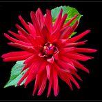 Kaktusdalie `Trebbiano ` - 4 -