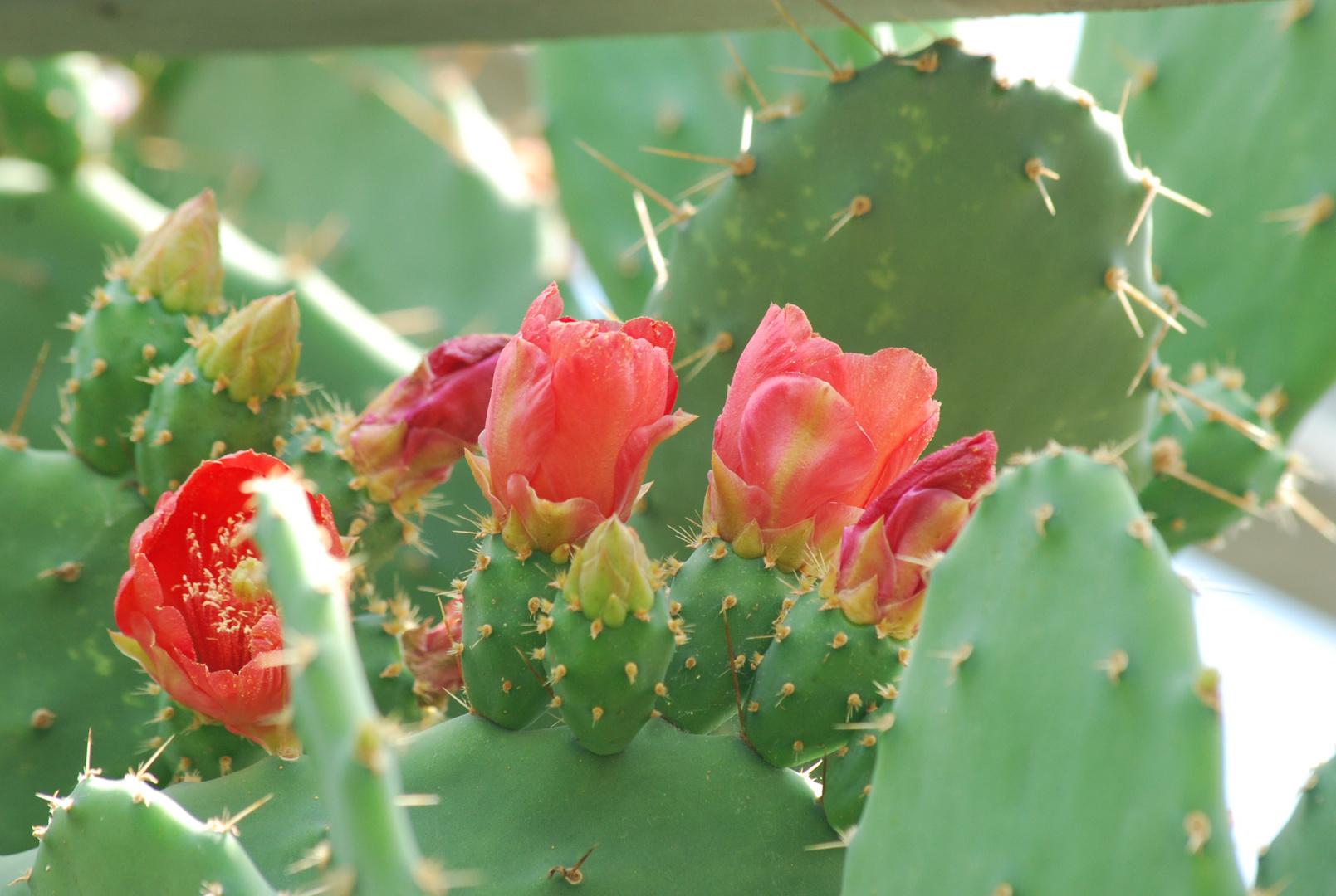 Kaktusfeige blühend