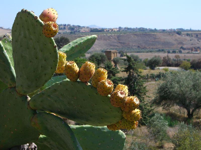 Kaktusfeigen Opuntia ficus-indica