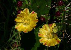 Kaktusfeigenblüten