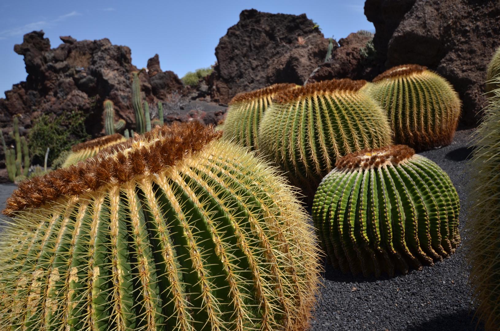Kaktusnest
