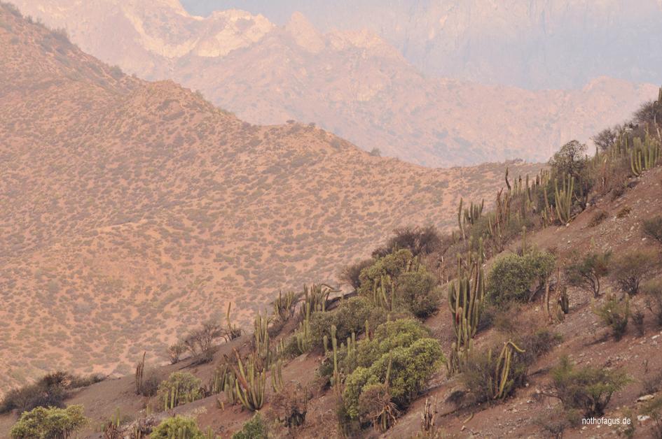 Kaktuswald