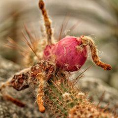 Kaktuszipfelmützenblume
