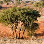 Kalahari II