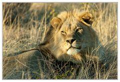 Kalahari-Löwe #1