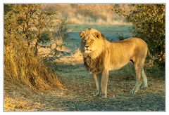 Kalahari-Löwe #2