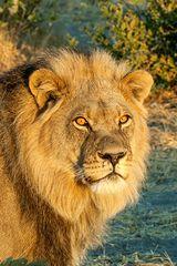 Kalahari-Löwe #3