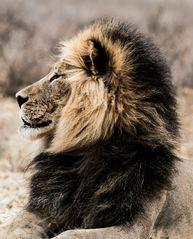 Kalahari Löwe im Profil