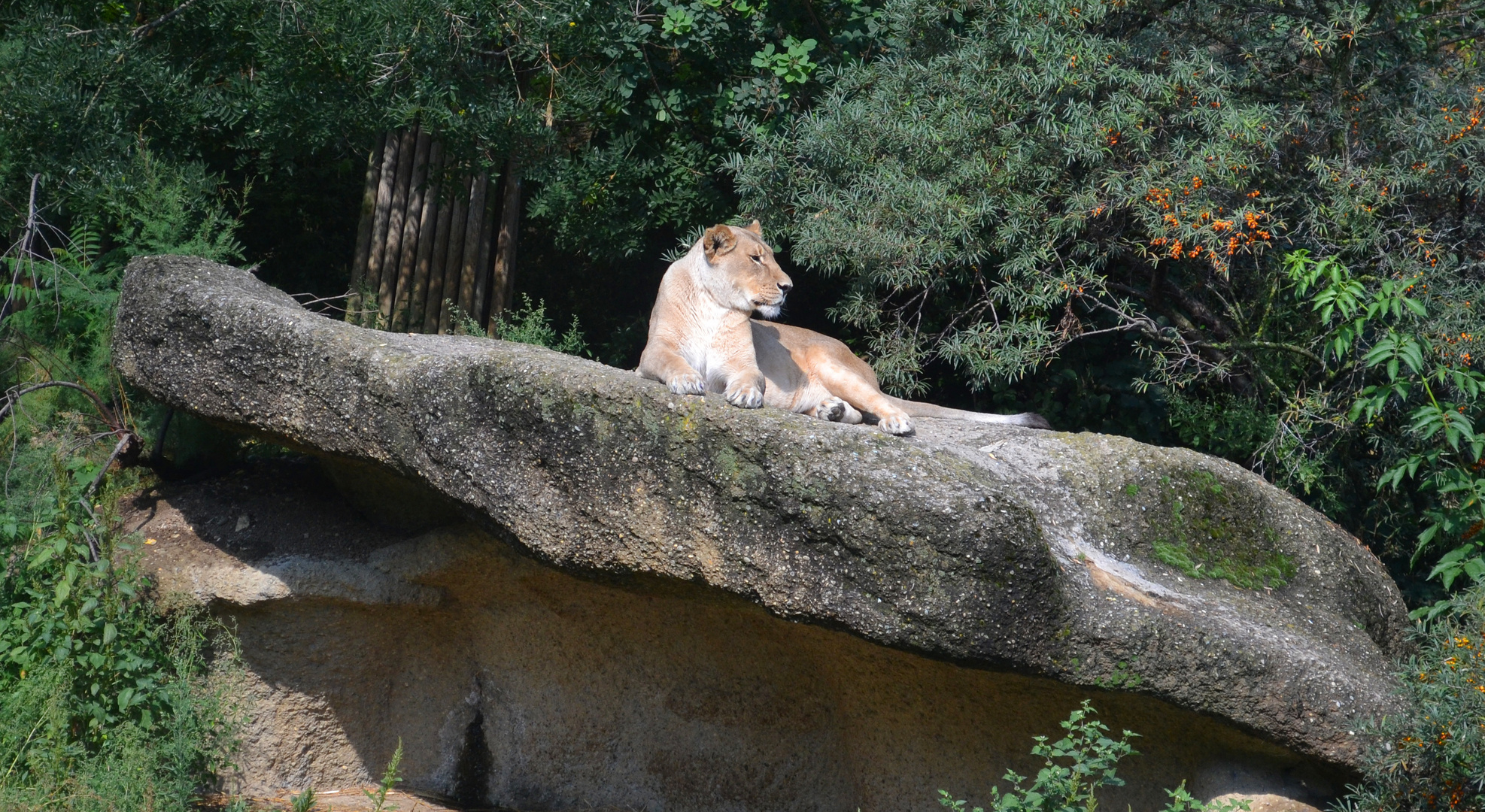 Kalahari-Löwe im Zoo Basel