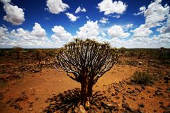 kalahari quiver tree