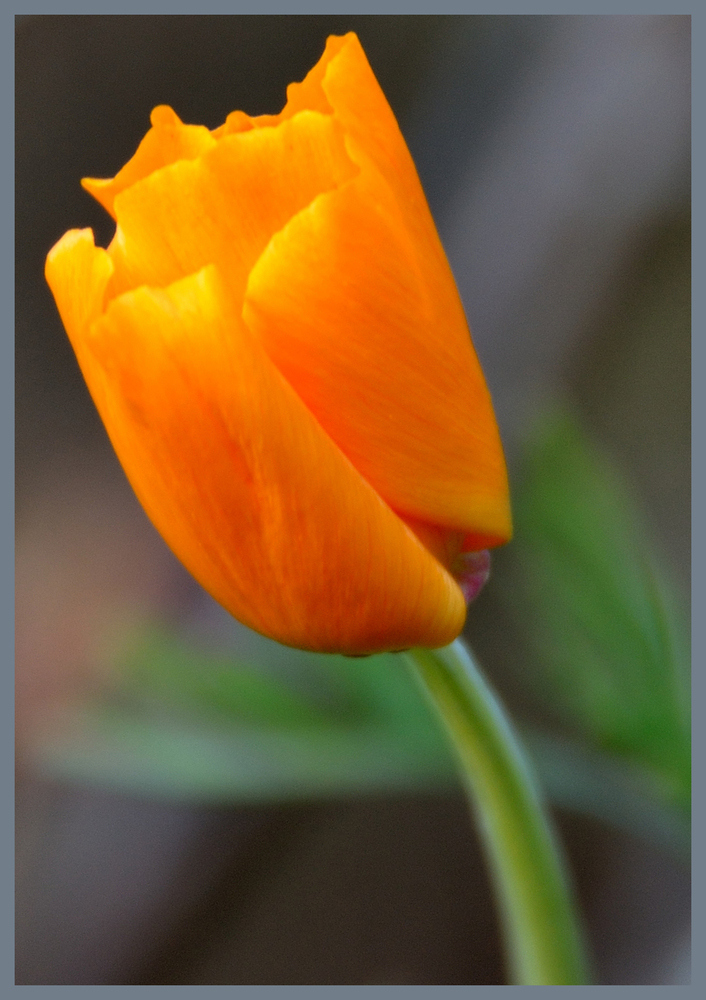 Kalifornische Mohnblüte