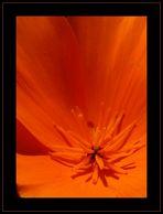 Kalifornischer Mohn (Eschscholzia californica) Nr.3