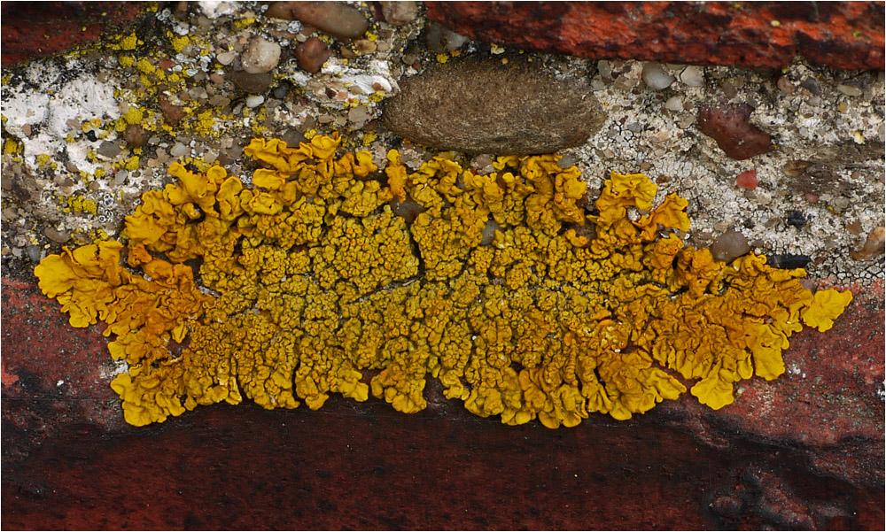 Kalk-Gelbflechte (Xanthoria calcicola)