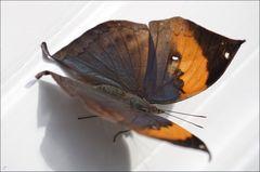Kallima inachus - II