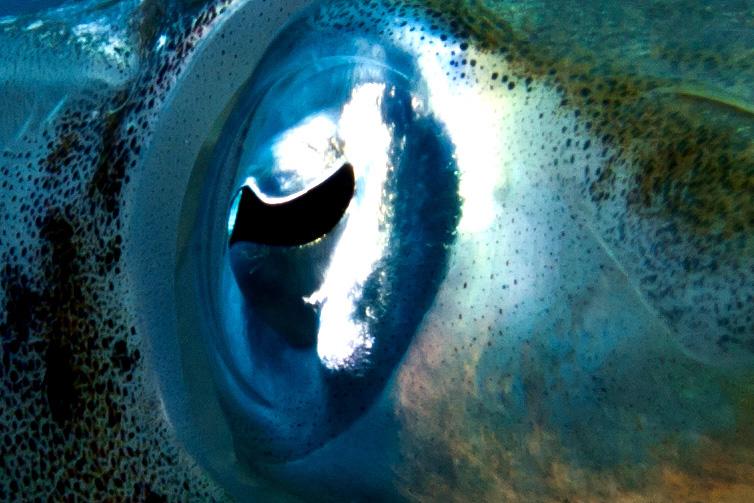 Kalmare -aber nur Auge