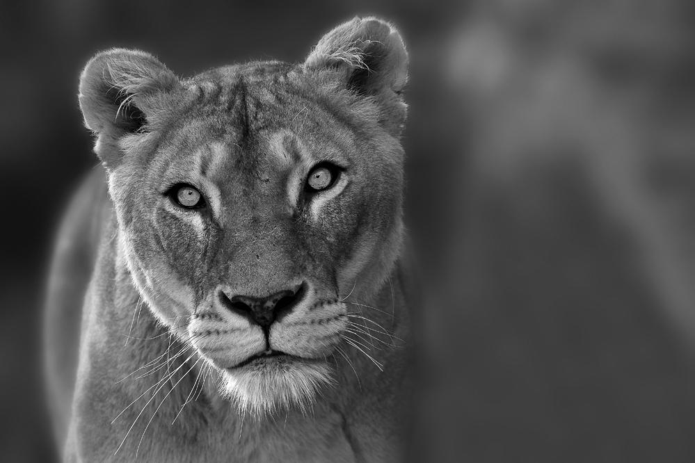 kam die Löwendame...