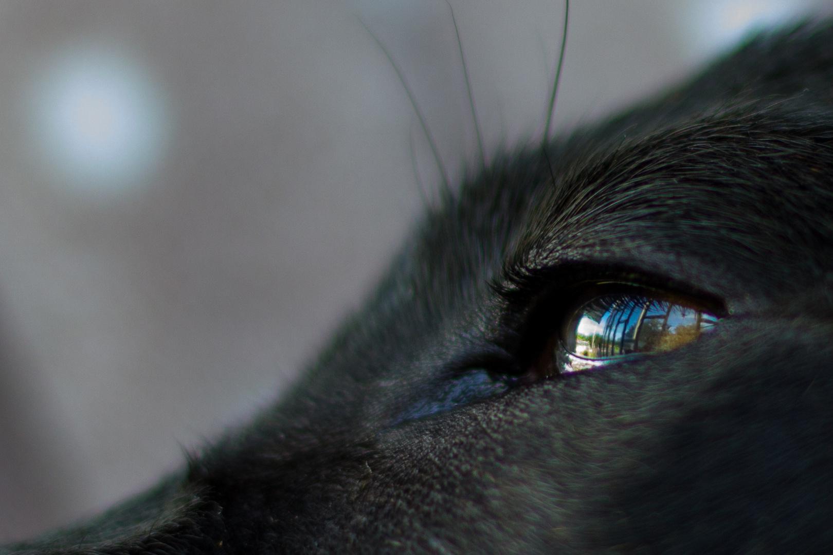 Kamaro-Auge