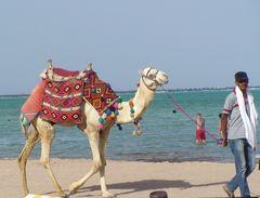 Kamel am Rotenmeer