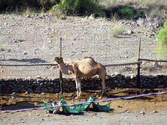 Kamel auf Gran Canaria