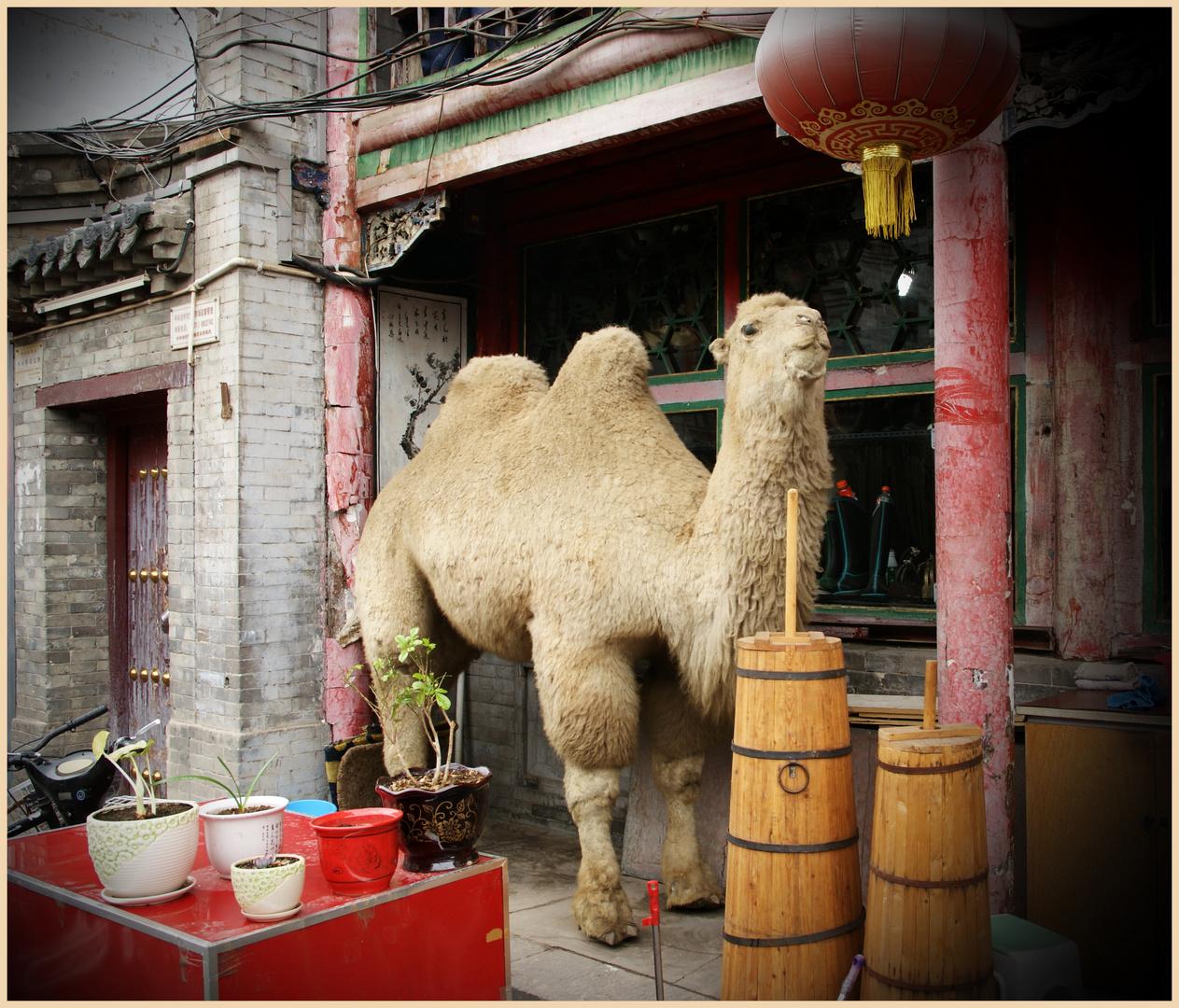 Kamel Für Haus Oder Garten Zu Verkaufen Foto & Bild