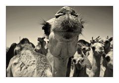 .kamel II