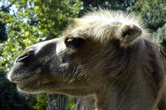 Kamel im Sommersonnenlicht