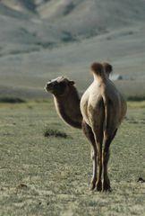 Kamel in der Chuya Steppe