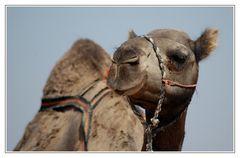 Kamel zu verkaufen ...