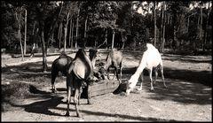 kamele 2