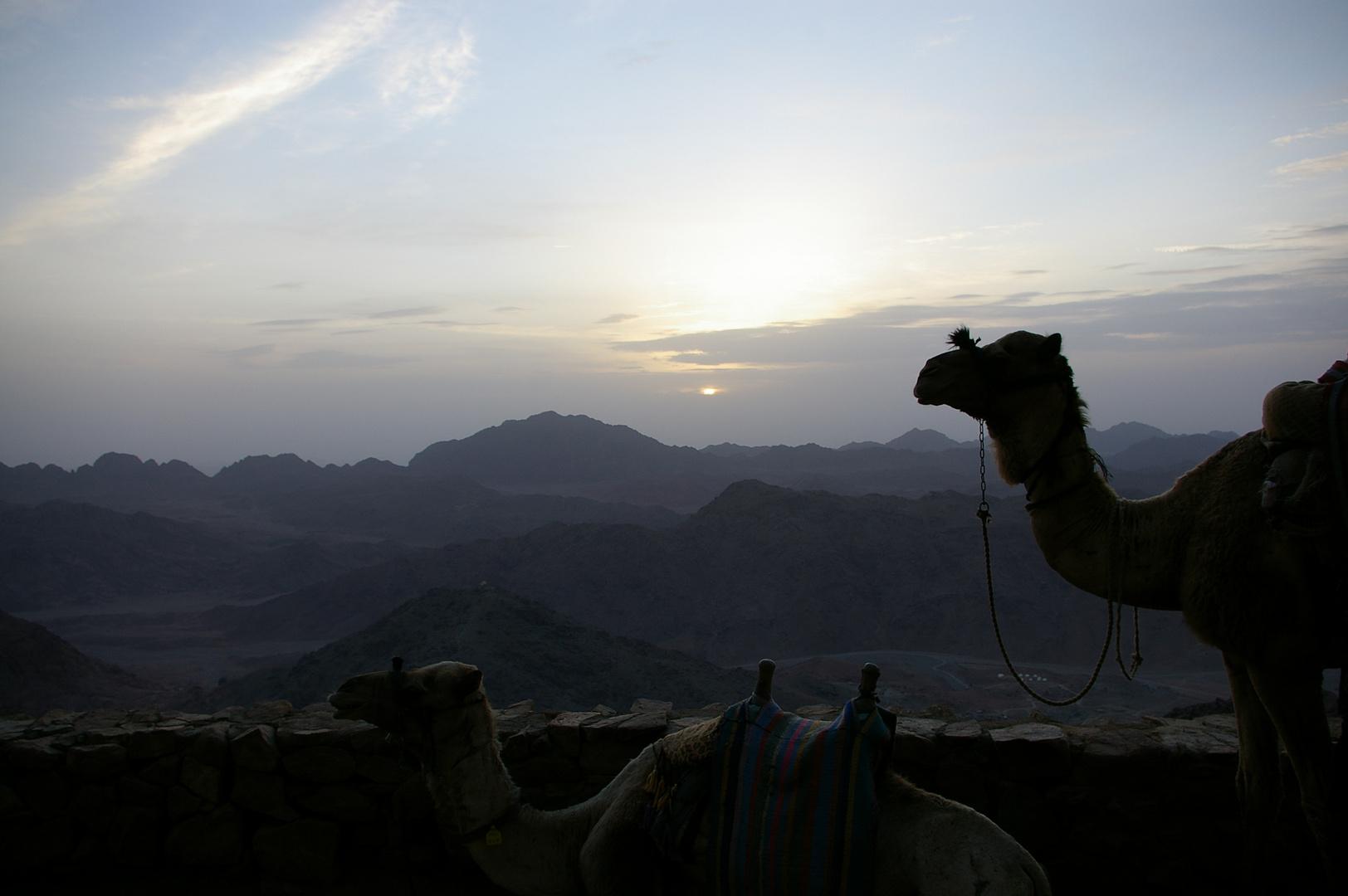 kamele auf dem Horeb