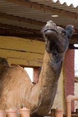 Kamele im Gestüt 2