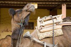 Kamele im Gestüt 3