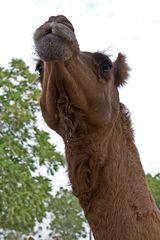 Kamele im Gestüt 4