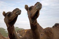 Kamele im Gestüt 5