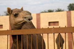 Kamele im Gestüt