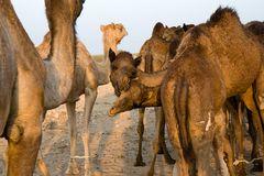 Kamele in der Wüste Thar