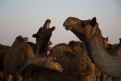 Kamele in der Wüste Thar II