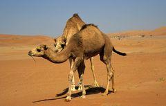 Kamele in der Wüste Wahiba