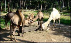 Kamele vor der Karawanserei