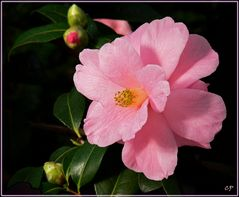 Kamelien-Blüte