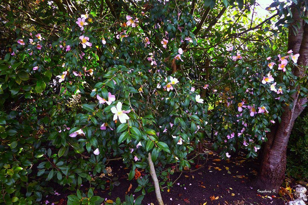 Kamelien - Blütenstrauch im Oktober in meinem Garten