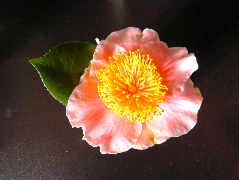 Kamelienblüte 2
