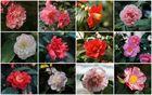 Kamelienblüten