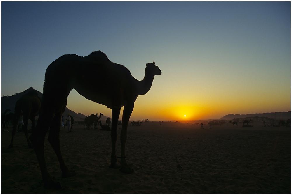 Kamelmarkt in Pushkar, Rajasthan, Nordindien, Bild 01